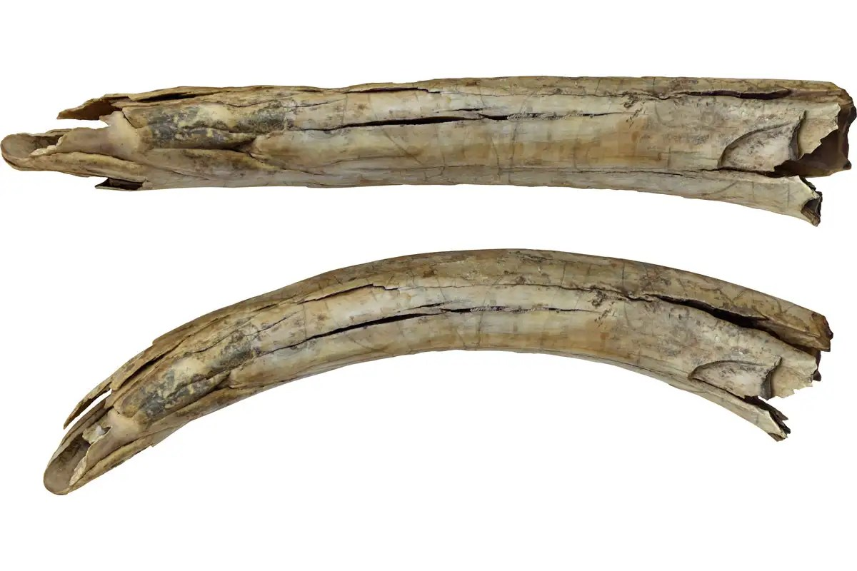 Ancient mammoth tusk found in Siberia is engraved with fighting camels