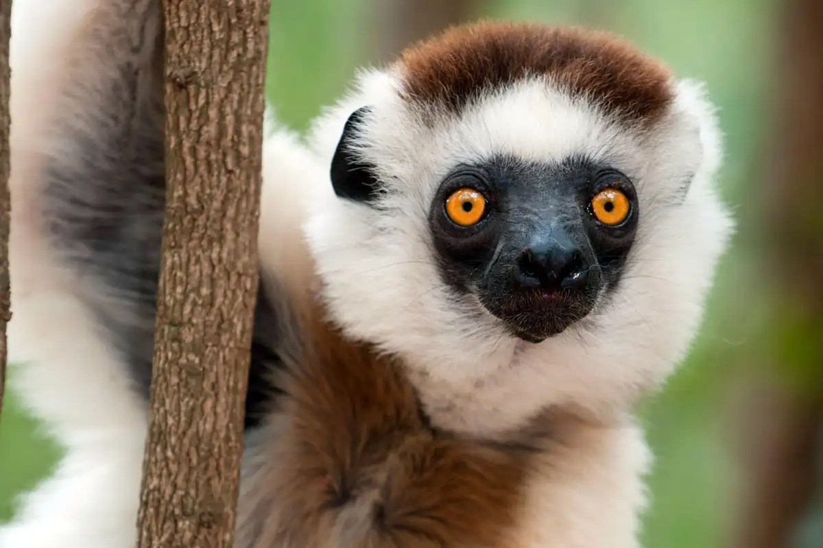 Almost all lemur species are now officially endangered
