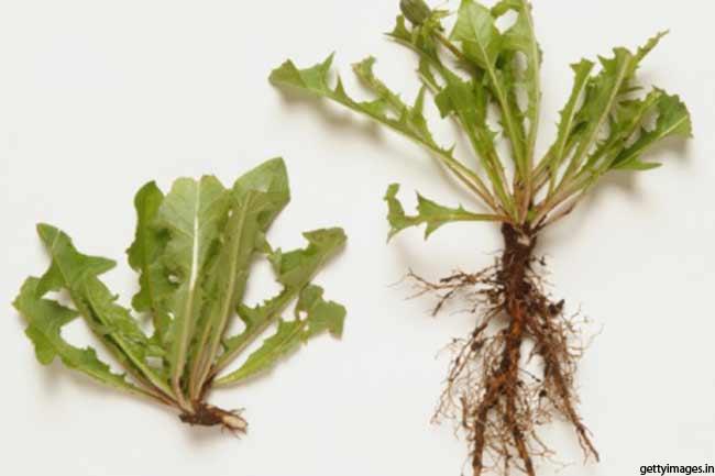 सिंहपर्णी (Dandelion root)