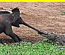 Crocodile Sneak Attacks Baby Elephant, What Happens Next Would Blow Your Mind!