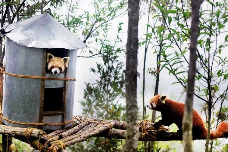 Topkeydara In Darjeeling: A Lifeline For Endangered Red Pandas ...