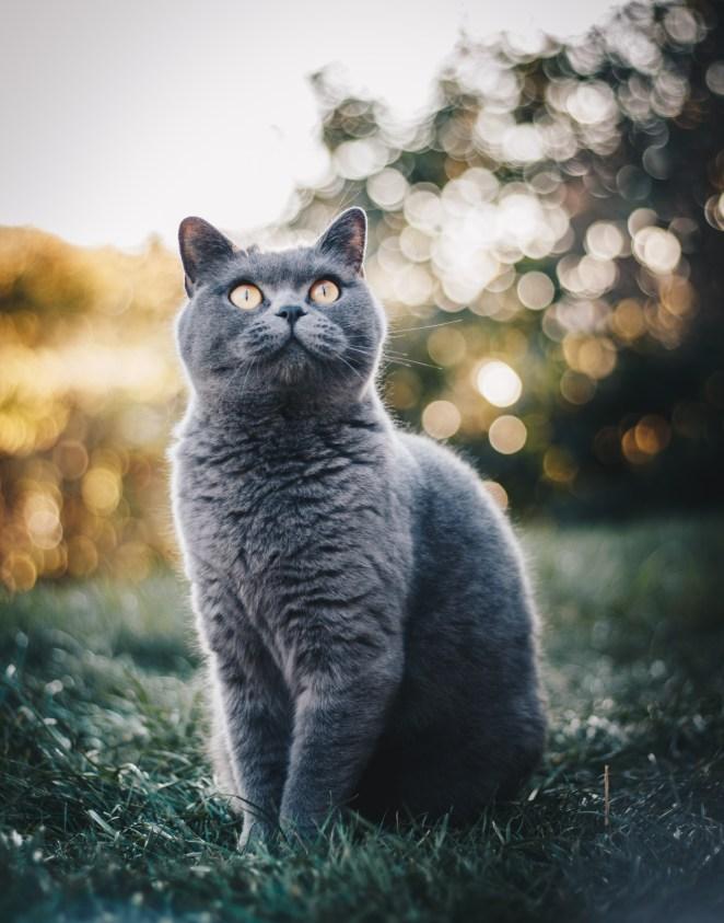 Photo of British Shorthair Cat Sitting on Grass Field