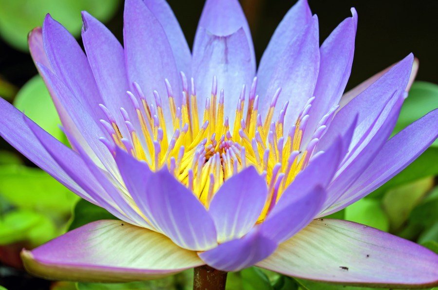 1000  Great Water Lily Photos      Pexels      Free Stock Photos Purple Petaled Flower