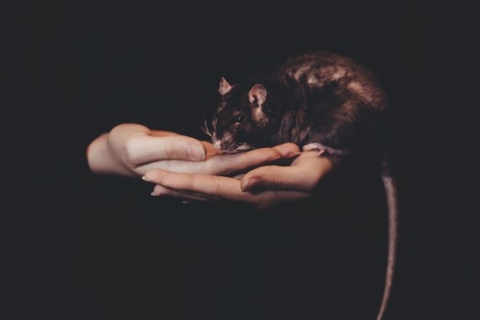 Rodents and Mouse Removal in Sarasota