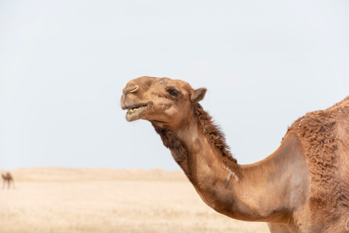 A camel in the desert, facing to the left, head up.