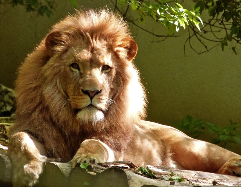 What adjective would you use to describe a lion?