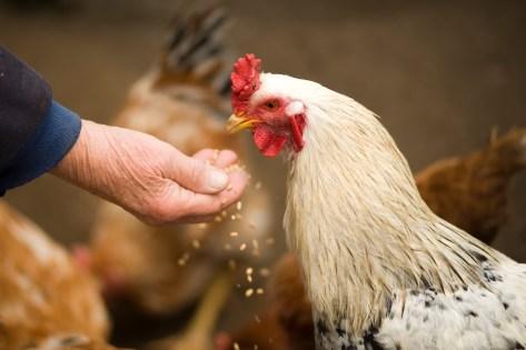 Persona Che Alimenta Pollo Bianco All'aperto