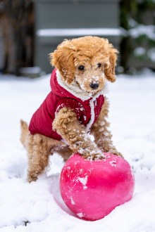 Adorable Toy Poodle playing with ball in snow
