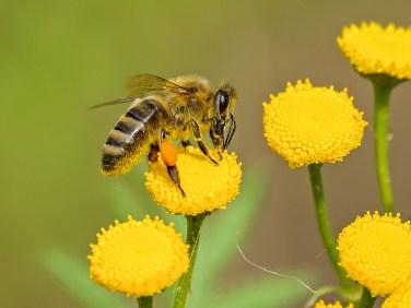 animale, ape, ape da miele