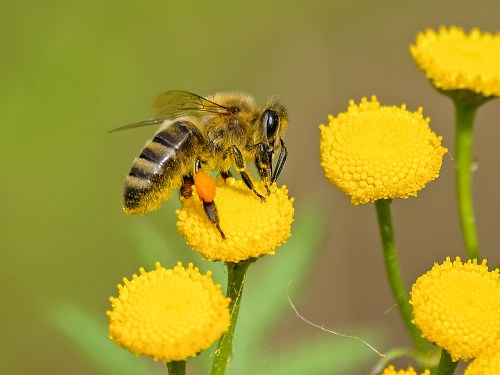honeybees, bee atop yellow flower in a row of four flowers