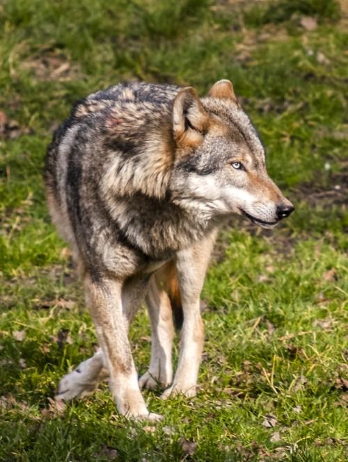 50 Breathtaking Wolf Photos 183 Pexels 183 Free Stock Photos