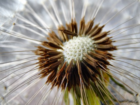 Dandelion Macro Photography 183 Free Stock Photo