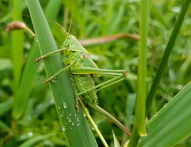 Green Grasshopper Perched on Grass