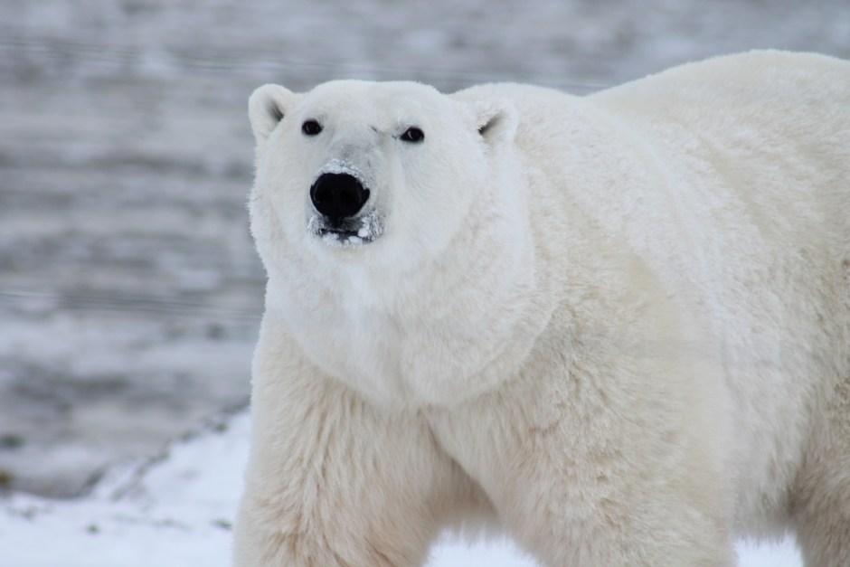 Black White Polar Bear And Dog