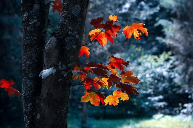 Tree With Maple Leaves