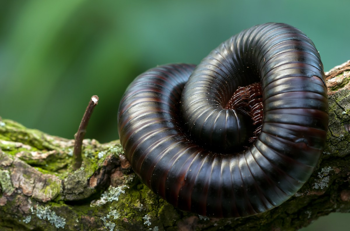 Black and Brown Millipede on a Green and Brown Branch