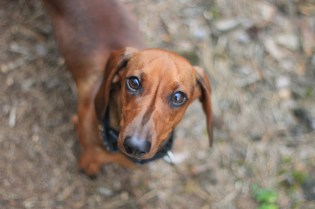 Selective Focus Photography of Dachshund