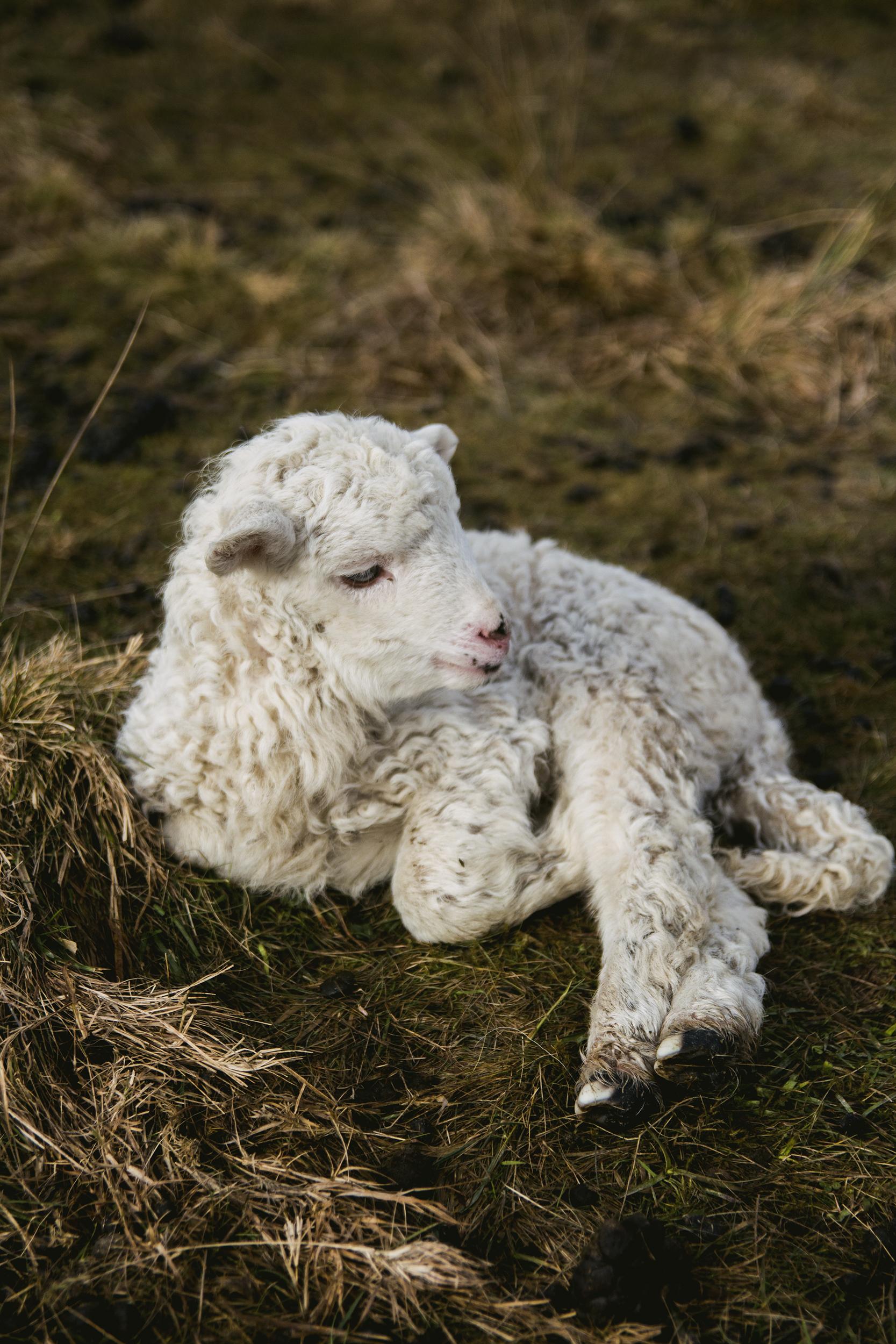 White Lamb Near Fence 183 Free Stock Photo