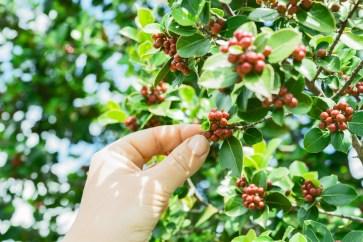 Black Coffee Fruit Picked during Daytime