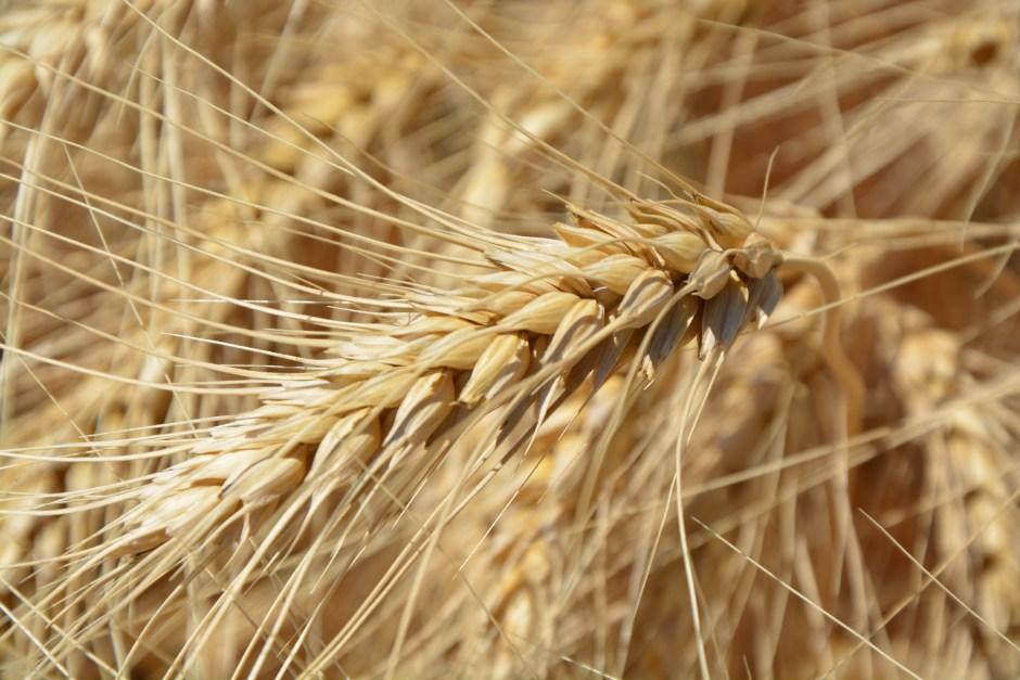 Brown Wheat Plant Free Stock Photo