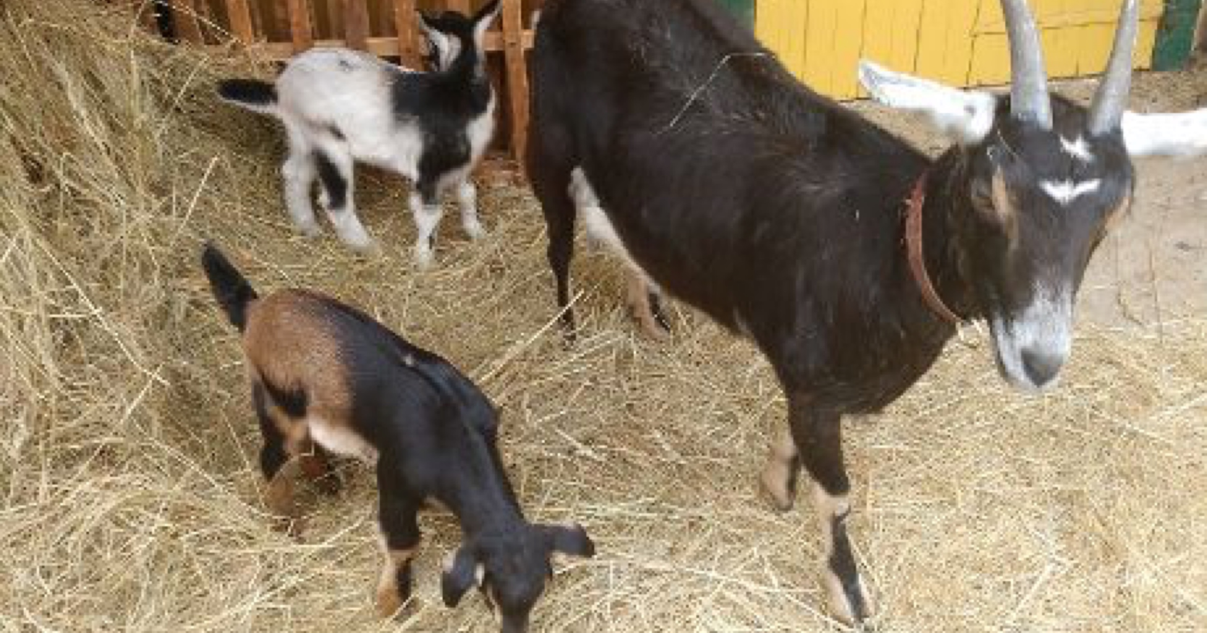 Help out at Schaeffer Farm this weekend and you'll see their new goats