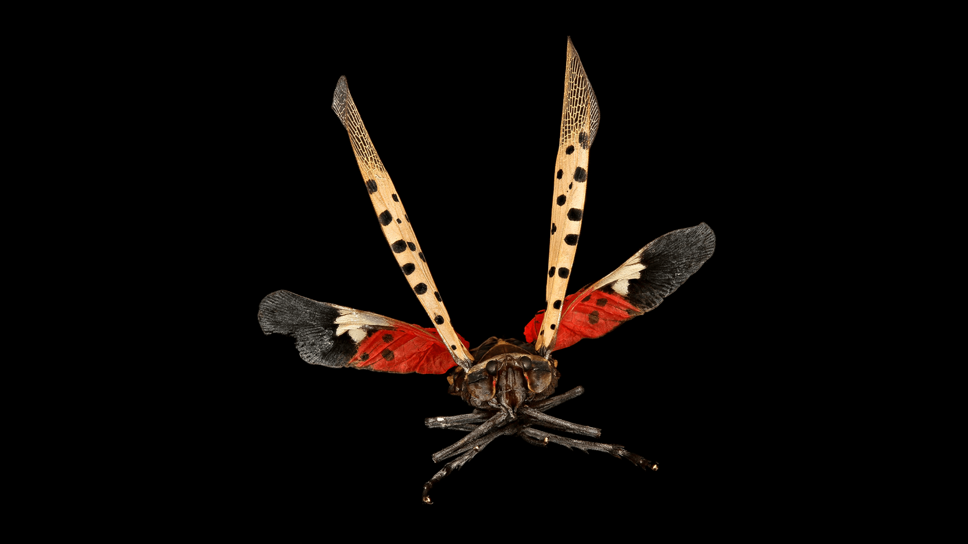Lebanon County residents given a license to kill… spotted lanternflies