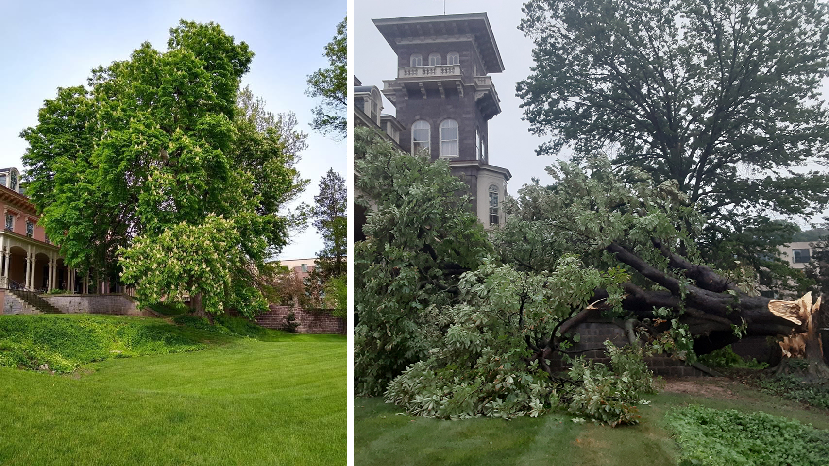 Cornwall Manor in mourning for massive chestnut tree felled by recent weather