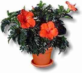 Hibiscus Florist Grade