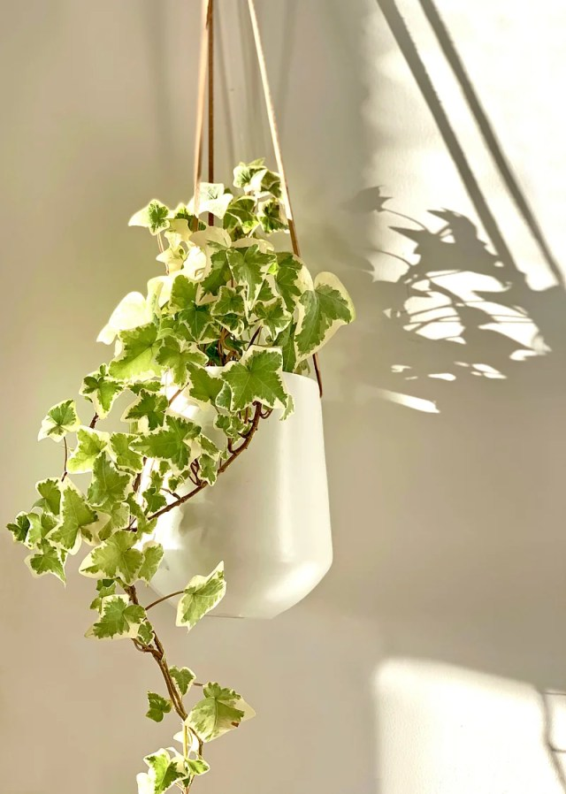 English ivy absorbs 60 percent of the toxins in the air