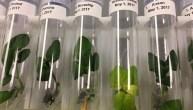 Banque de gènes des pommes de terre