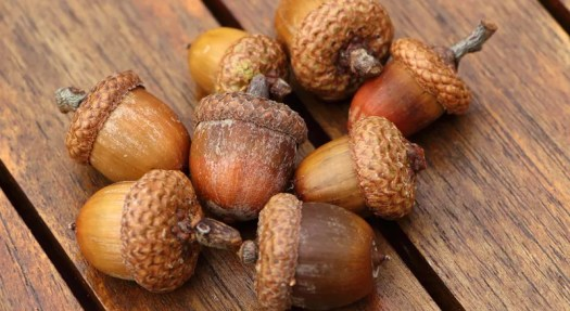 Masting: Why acorns are fallings from trees at a higher than usual rate in  Minnesota | WCCO