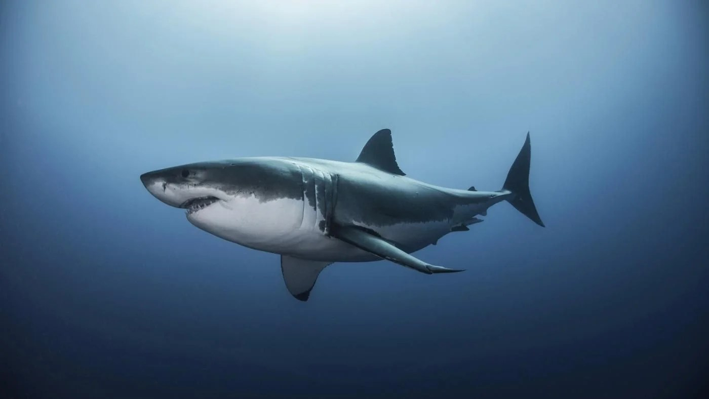 What Is The Habitat Of A Great White Shark