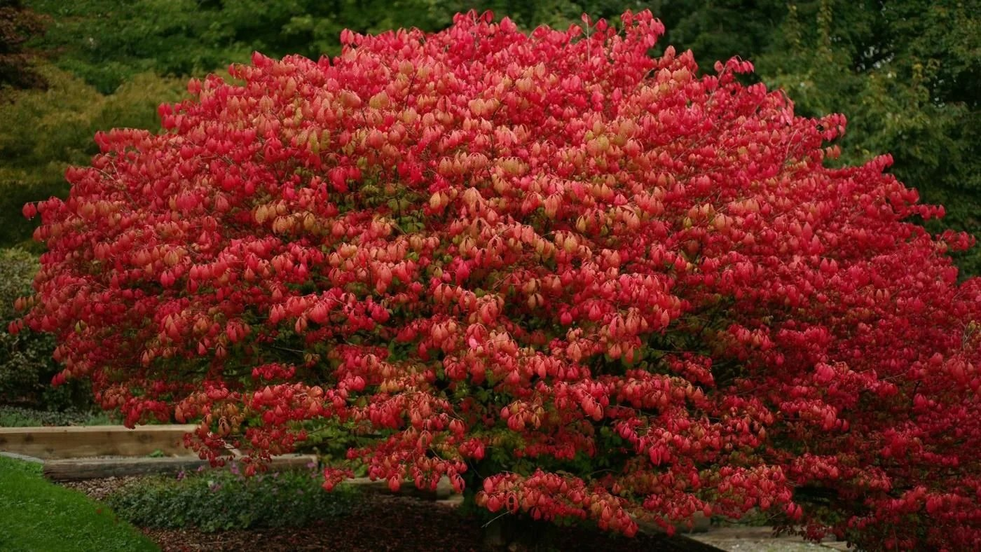 when is a time to plant a burning bush reference on Burning Bush Plant id=99361