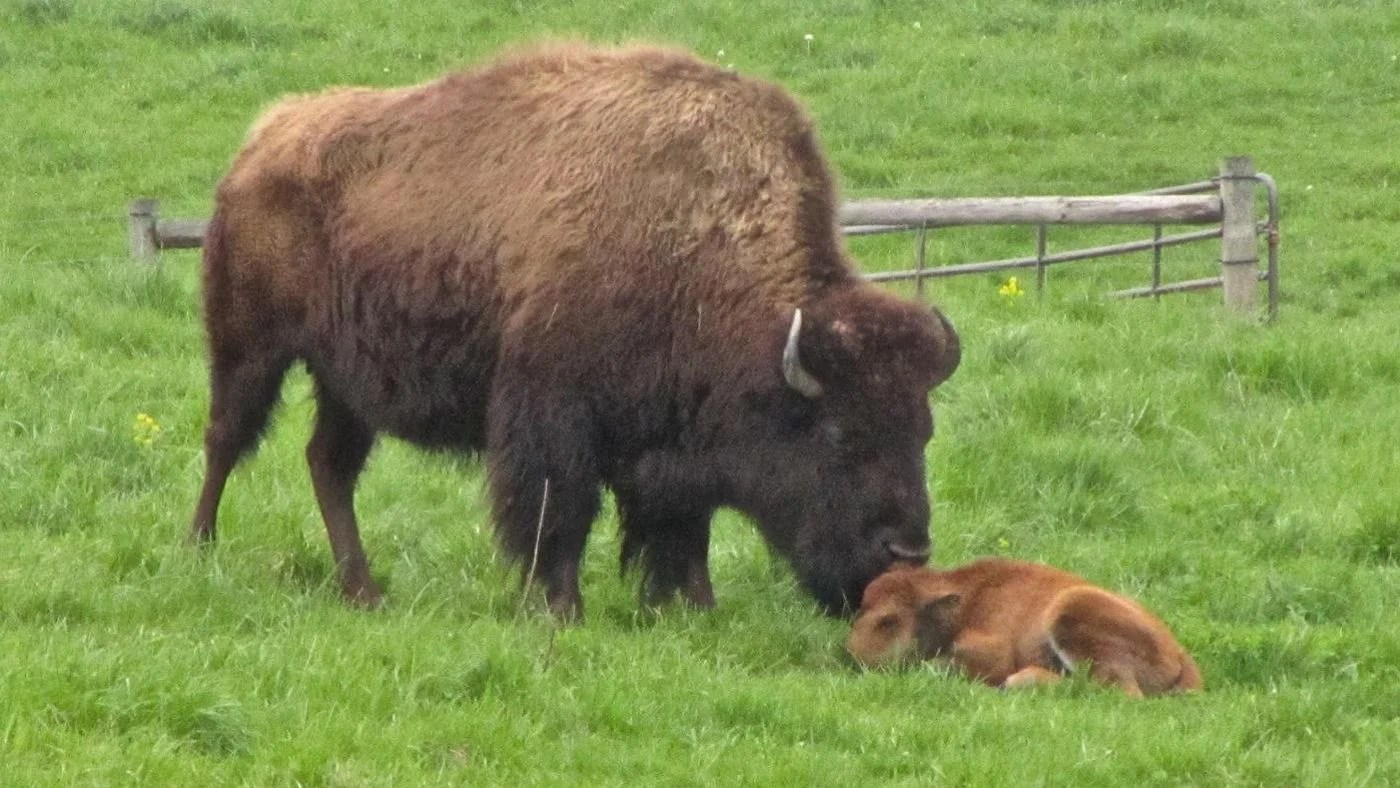 What Is A Baby Buffalo Called