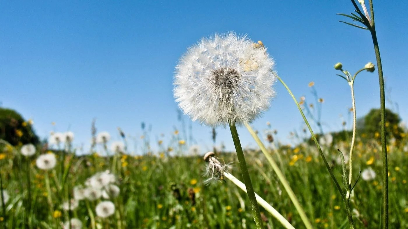 What Are The Stages Of A Dandelion