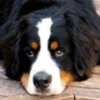 Bernese Mountain Dog Rescue ― Adoptions