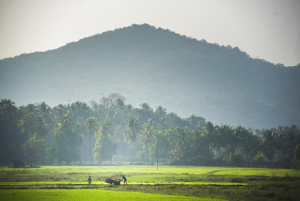 Rice paddy fields in Palolem, Goa