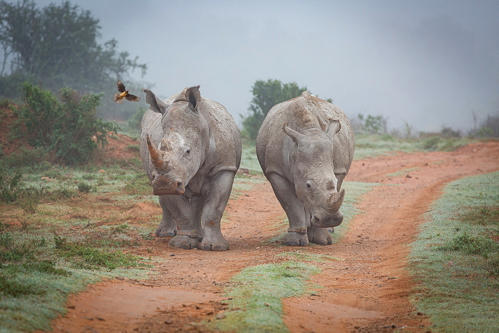 Stock photo of Two Rhinos and an oxpecker bird in the Amakhala Game Reserve in the Eastern Cape, South Africa