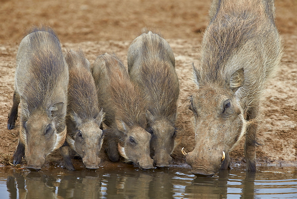 Stock nature photo: Family of warthogs drinking