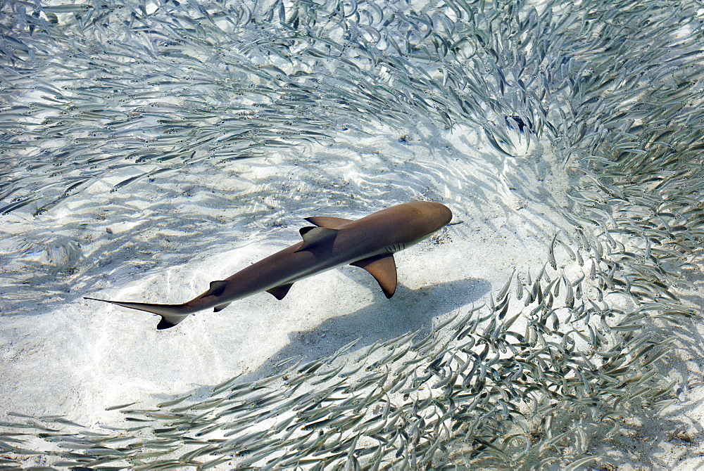 Reef shark swimming with silver sprats image