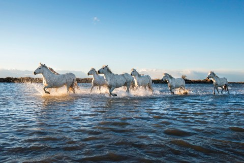 Wild white horses running through water, Camargue, France