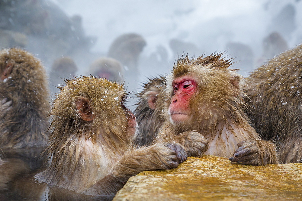 Image of group of wild Japanese macaque monkeys