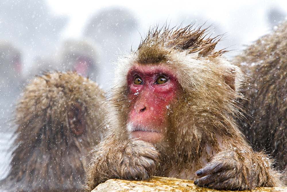 Close up of Japanese macaque monkey in the snow