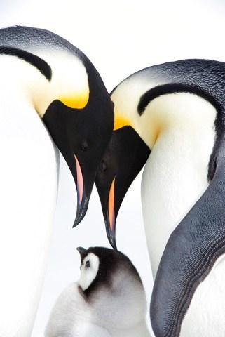 Emperor penguin, chick and adults, Snow Hill Island, Weddell Sea, Antarctica, Polar Regions