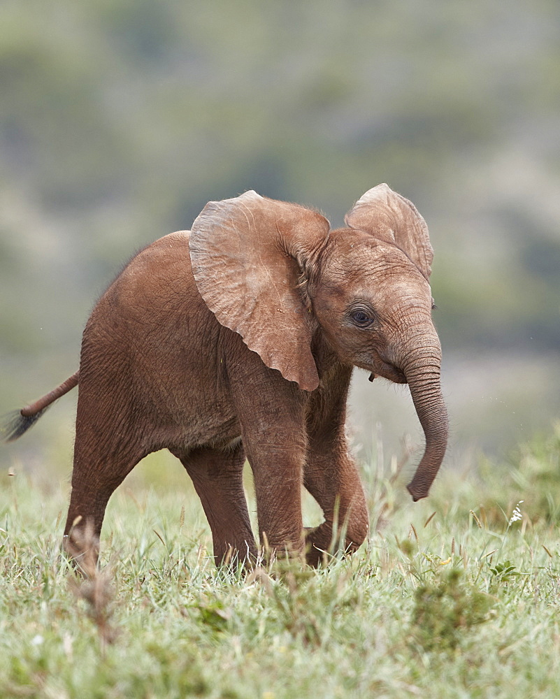 Close up of baby African elephant running