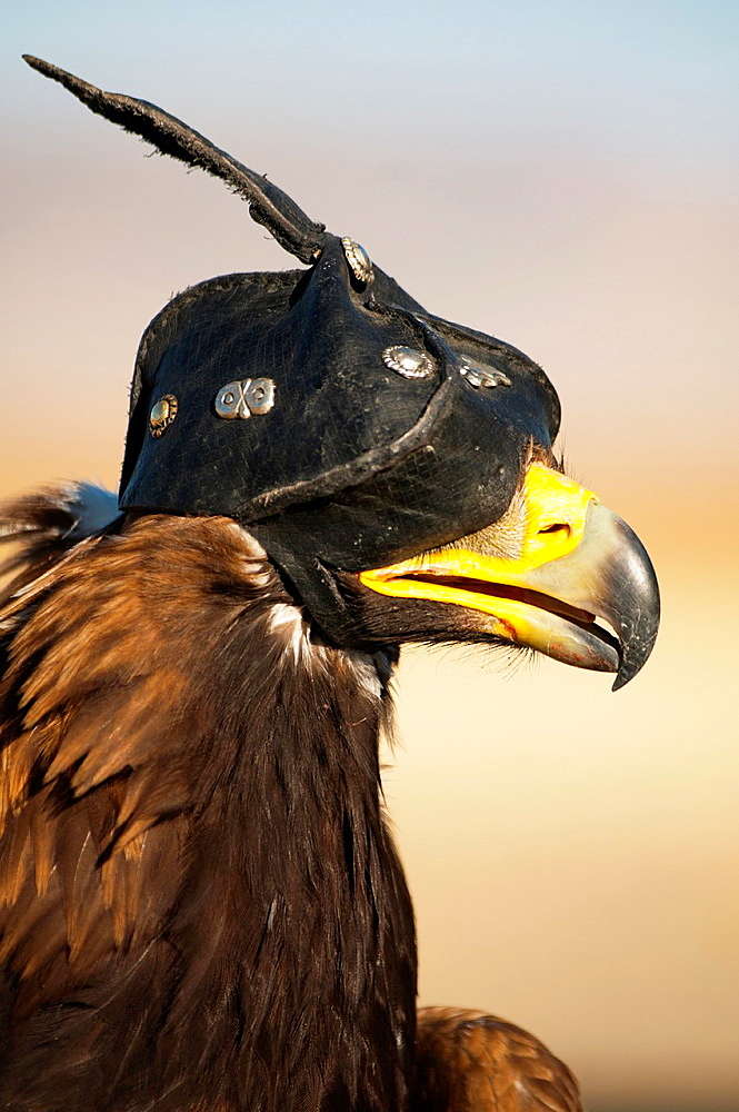 Stock nature photo of a Mongolian eagle hunter's Golden Eagle