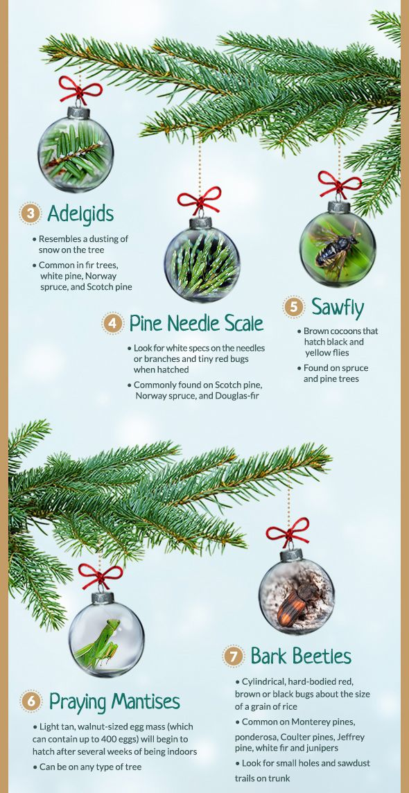Common Christmas Tree Bugs And How To Get Rid Of Them