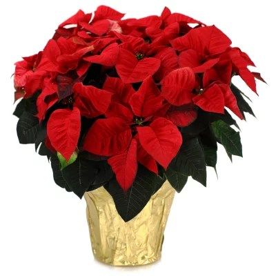 Premium Poinsettia Planter Sams Club
