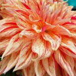 How To Grow And Care For Dahlias Dengarden Home And Garden