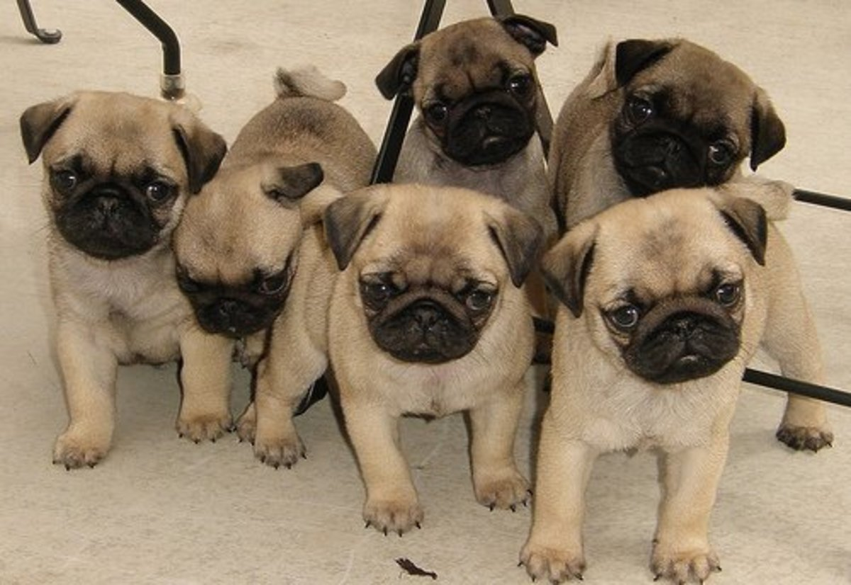 Selecting A Pug Puppy Male Pug Versus Female Pethelpful By Fellow Animal Lovers And Experts